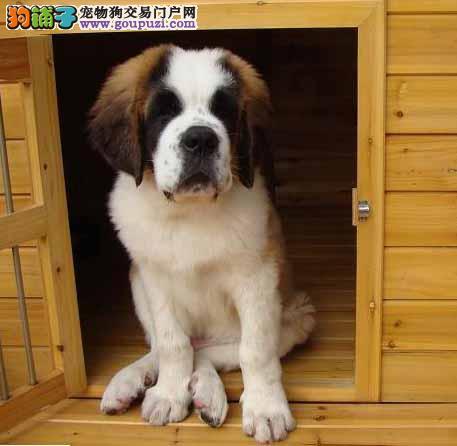 福州出售纯种的圣伯纳幼犬血统纯正