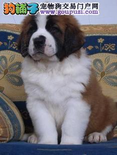 出售高大威猛圣伯纳幼犬 纯种健康 品相优良1
