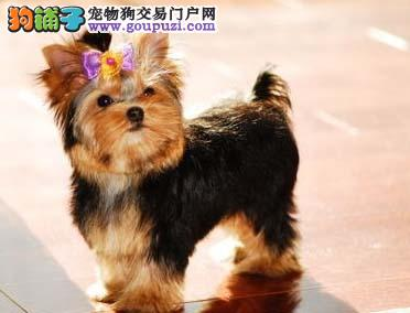 出售纯种可爱的约克夏幼犬宝宝 | 疫苗已经做好