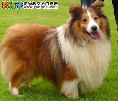 苏格兰牧羊犬幼犬热销中、国际血统品相好、购买保障售后