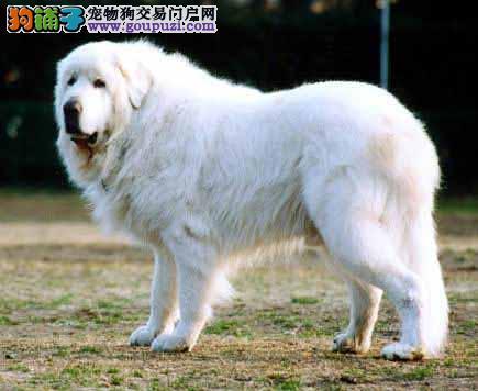 犬舍出售两月龄大白熊/头板好/骨量好