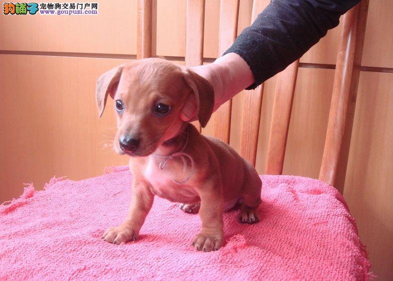 CKU犬舍认证太原出售纯种腊肠犬带血统证书签活体协议