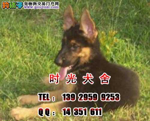 广州德国牧羊犬 广州哪里有卖德牧 德牧犬 广州黑贝 狗铺子-黑贝犬的图片