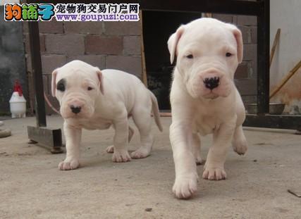 精品赛级杜高犬,CKU认证犬舍,签协议可送货
