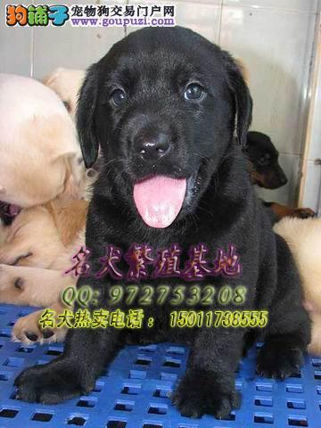 拉多猎犬打架视频,训练拉布拉多猎犬视频,拉布拉多猎犬jiage 高清图片