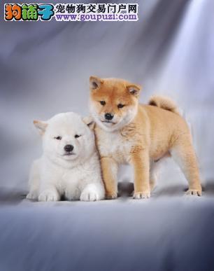 重庆哪里有卖柴犬 重庆出售柴犬价格多少钱 包纯种