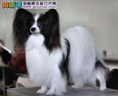 徐州专业养殖场出售纯种蝴蝶犬 可上门挑选 包血统健康