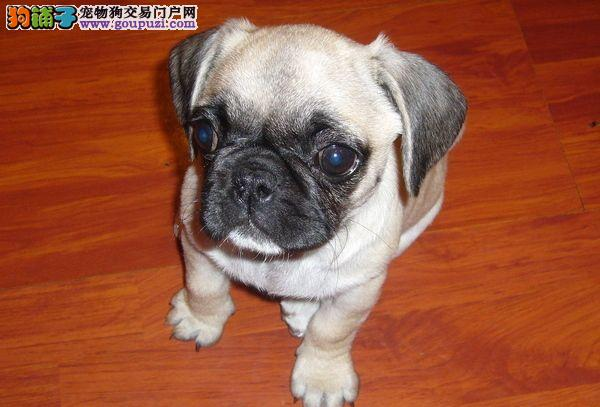 健康 巴哥犬/自家繁殖的巴哥犬找个好妈妈了健康活泼