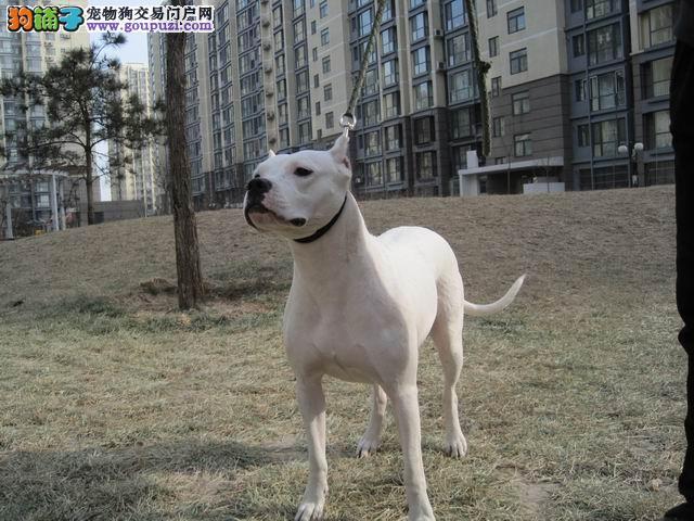 出售正宗血统优秀的重庆杜高犬提供护养指导