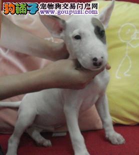 直销牛头梗幼犬、价格美丽品质优良、签订正规合同