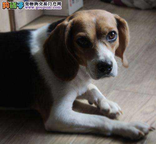 上海售赛级比格 米格鲁猎兔犬 比格犬
