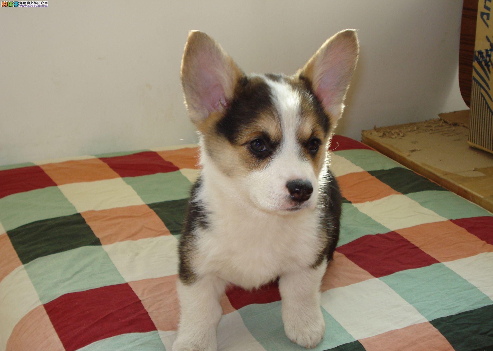 高品质柯基幼犬 价格美丽品质优良 全国空运到家