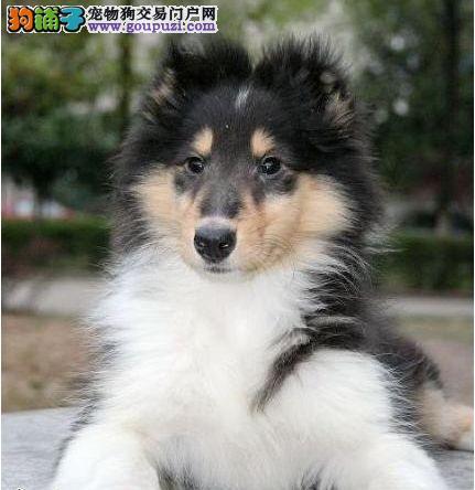 湘潭出售苏格兰牧羊犬 性格忠实活泼、疫苗做好1