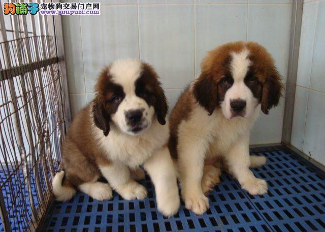 国际注册犬舍 出售极品赛级圣伯纳幼犬全国送货上门2