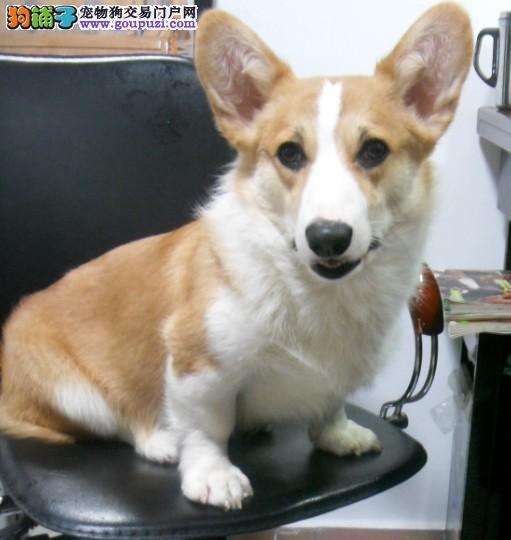 CKU犬舍认证出售纯种柯基签订三包合同