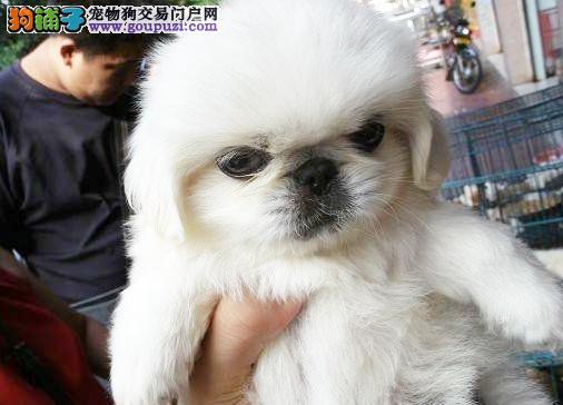 南京哪里出售京巴犬 京巴犬价格多少钱一只