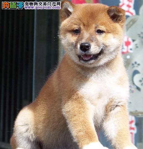 纯种赛级日本柴犬超低价格出售送狗狗用品和狗狗户口