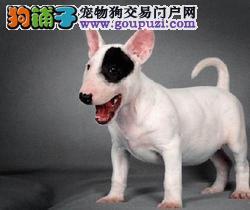 海盗眼牛头梗犬 纯种蛋脸牛头梗犬 签协议保纯种健康