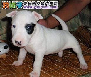 家养多只武汉牛头梗宝宝出售中欢迎爱狗人士上门选购