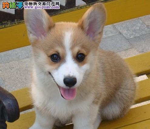 家养繁殖 买狗必看 极品 柯基犬 三年 质保2
