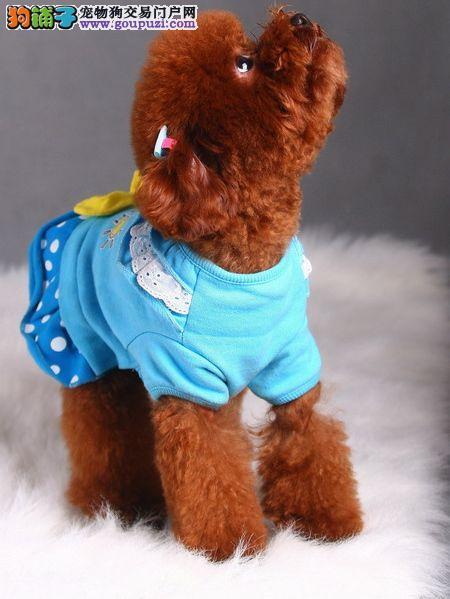苏州繁育精品玩具体茶杯泰迪犬 可看父母 可签协议泰迪