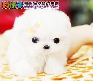 衡阳专业的茶杯犬犬舍终身保健康质量三包多窝可选