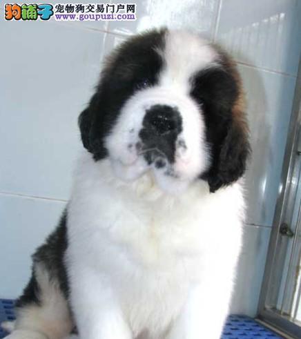 广州圣伯纳犬等幼犬圣伯纳德犬品种齐全包健康出售