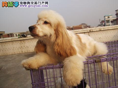 自己繁殖 英可卡幼犬《送狗饰品+三保》