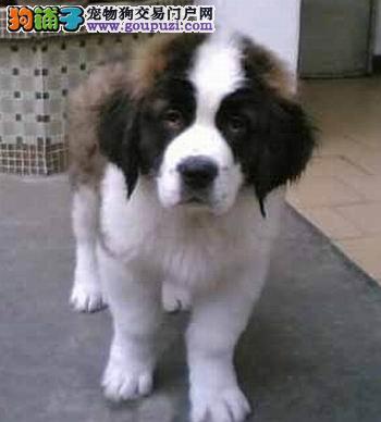 出售圣伯纳幼犬血统纯正品相优良2