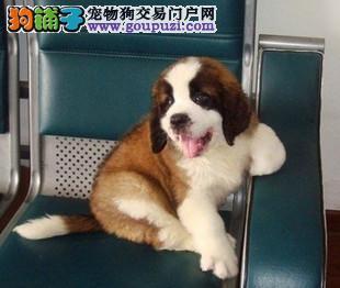 杭州出售圣伯纳幼犬。高大威猛 疫苗都已做过1