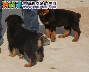 郑州出售极品罗威纳幼犬完美品相一分价钱一分货