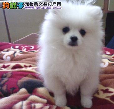 贵阳本地出售高品质银狐犬宝宝终身质保终身护养指导