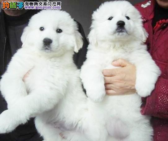 家养可爱憨厚大白熊宝宝打驱虫和2联4联