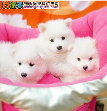 出售纯种日本银狐幼犬 (日本尖嘴)