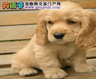 宿迁市家养纯种可卡幼犬出售 毛色好 包健康 公母都有
