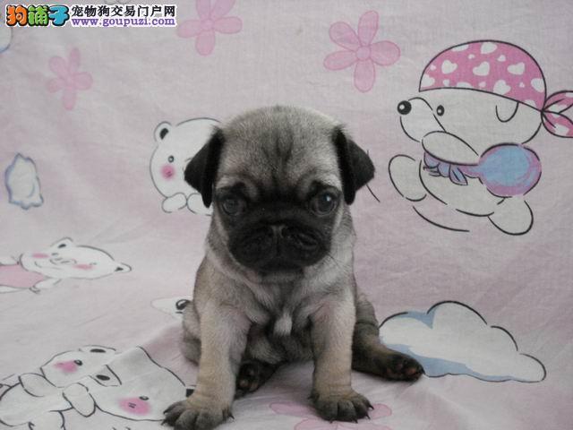 巴哥犬/销售巴哥犬纯种家养巴哥