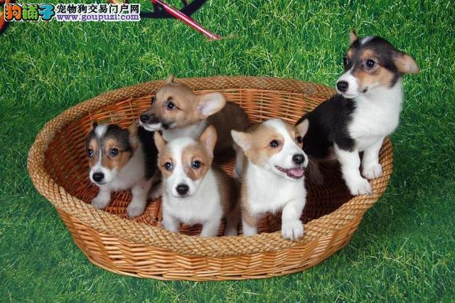出售纯种柯基幼犬纯种健康