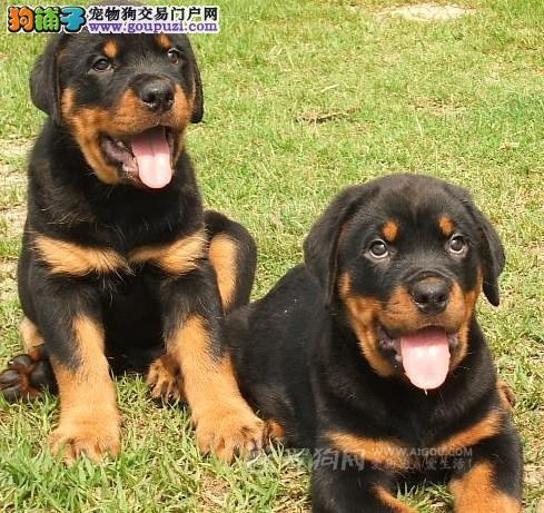 山东济南常年出售自家养纯种德系罗威纳幼犬~成犬~3