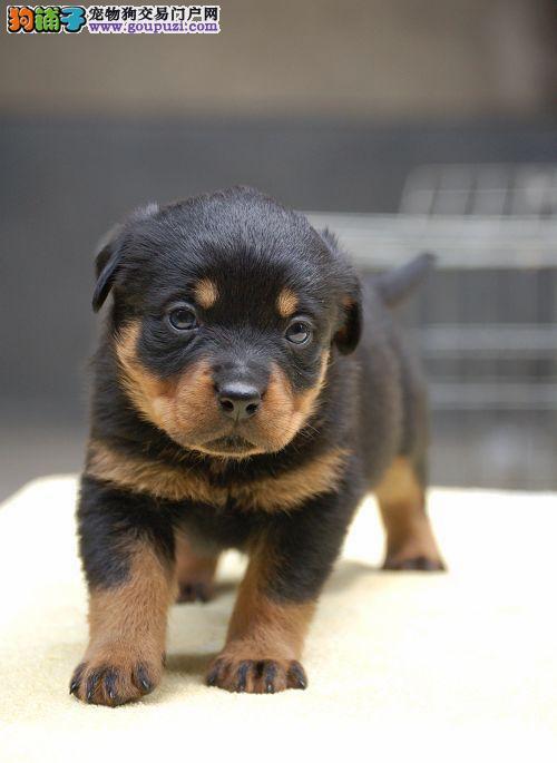 赛级品相罗威纳幼犬低价出售实物拍摄直接视频4