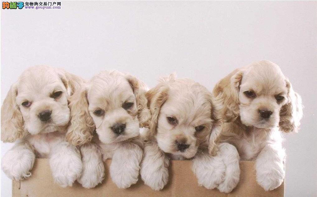 北京纯种高品质可卡犬正规可卡犬繁殖基地品质健康双保