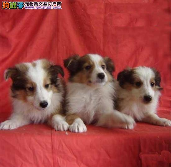 喜乐蒂牧羊犬幼犬长毛可爱健康保证支付宝交易狗狗