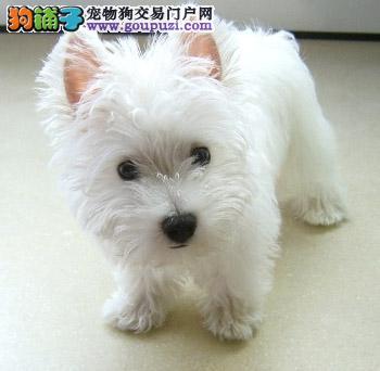 纯种西高地幼犬出售中,价格优惠,质量保证,健康保证