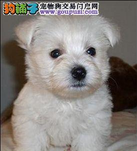 赛级品相聊城西高地幼犬低价出售微信咨询欢迎选购