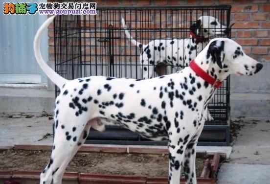 出售纯种斑点狗幼犬多只可选可视频