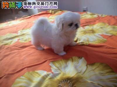 家养京巴幼犬保健康纯种低价转让-信誉第一