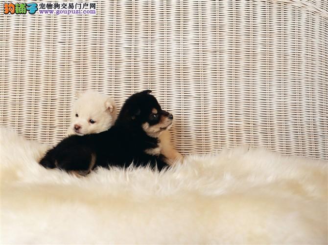 颜色全品相佳的腊肠犬纯种宝宝热卖中可以送货上门