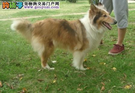 正规狗场出售喜乐蒂犬 品质极佳 保证纯种健康