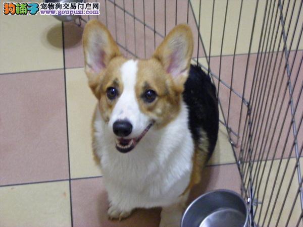 郑州市柯基犬出售 保纯保健康 疫苗驱虫已做 终身质保