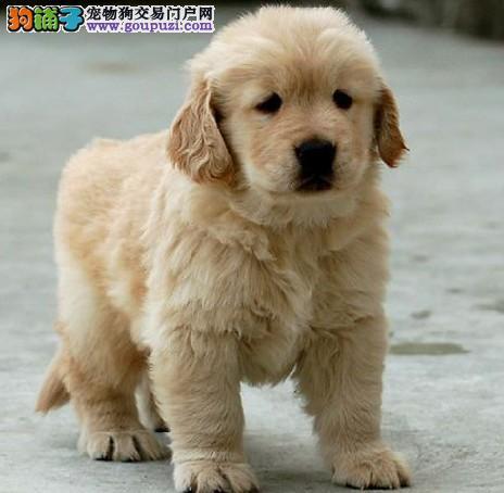 商丘大头宽嘴金毛幼犬 黄金猎犬出售 纯种金毛犬