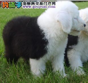 哪里有卖家养纯种长毛白头四脚踏雪古代牧羊犬